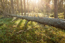 Fallen Tree Decay In Forest