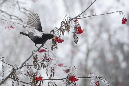 Photo Common blackbird (male) on a frosted tree - sorbus, rowan berry, winter