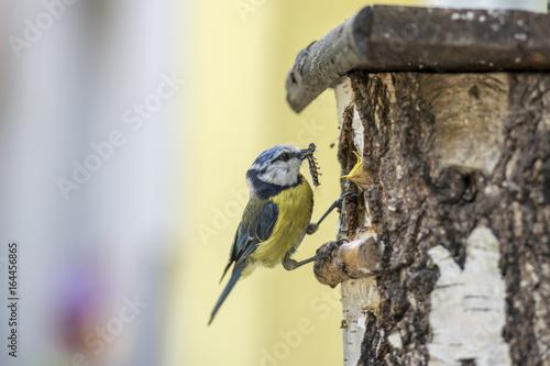 Fototapeta premium Modraszka w budce lęgowej karmiącej swoją młodą gąsienicą