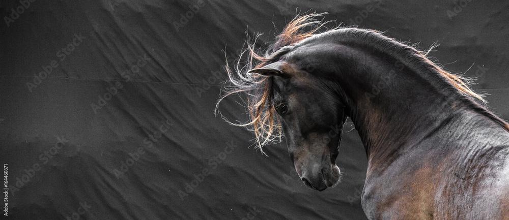 Fototapety, obrazy: Wild stallion with mane flying portrait head on black