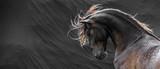 Fototapeta Konie - Wild stallion with mane flying portrait head on black