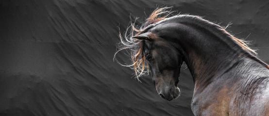 Wild stallion with mane flying portrait head on black