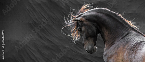Cuadros en Lienzo Wild stallion with mane flying portrait head on black