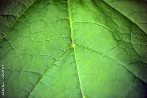 liść detal - katalpa - fototapety na wymiar