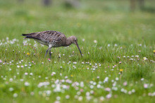Curlew (Numenius Arquata) Hunting In Pasture In The Rain