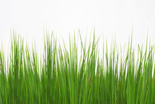 Green Long Grass Isolated On A...