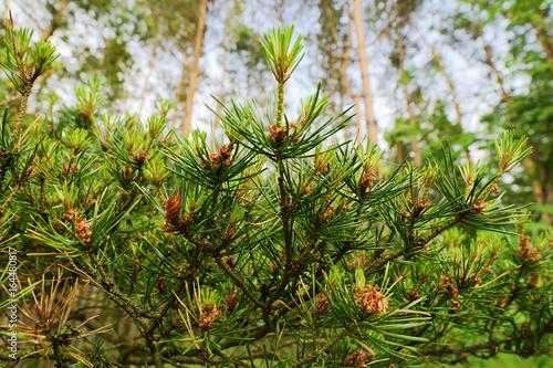 Fotografia, Obraz  New growth on Scots or Scotch pine Pinus sylvestris tree branches