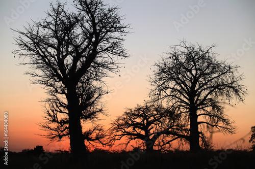 Fotografie, Obraz  Afryka - piękne wielkie baobaby o zachodzie słońca