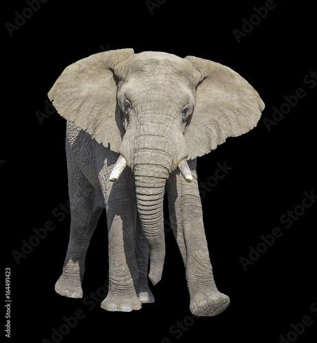 Foto op Aluminium Olifant Bull Elephant