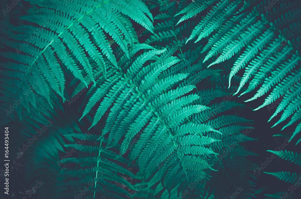 Fototapety, obrazy: Nature fern as a background