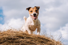 Farm Dog On Top Of Haystack At...