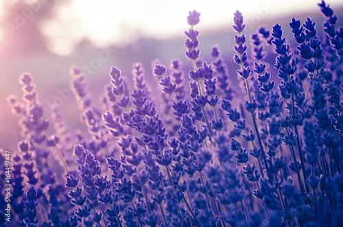 Obraz Kwiaty lawendy kwitnące w słońcu - fototapety do salonu