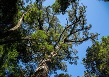 Huge Yellowwood Tree Near The ...
