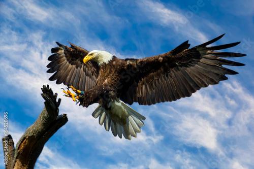 Photo  Bald Eagle Wings spread