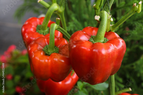 fresh red bell peppers growing on tree in garden, paprika chili. Wallpaper Mural