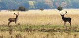Fototapeta Sawanna - fallow deer bucks ready to fight