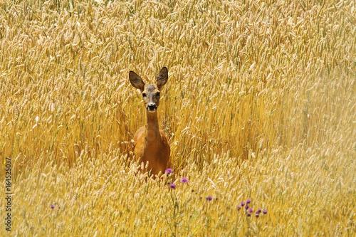 Valokuva roe deer doe in beautiful wheat field