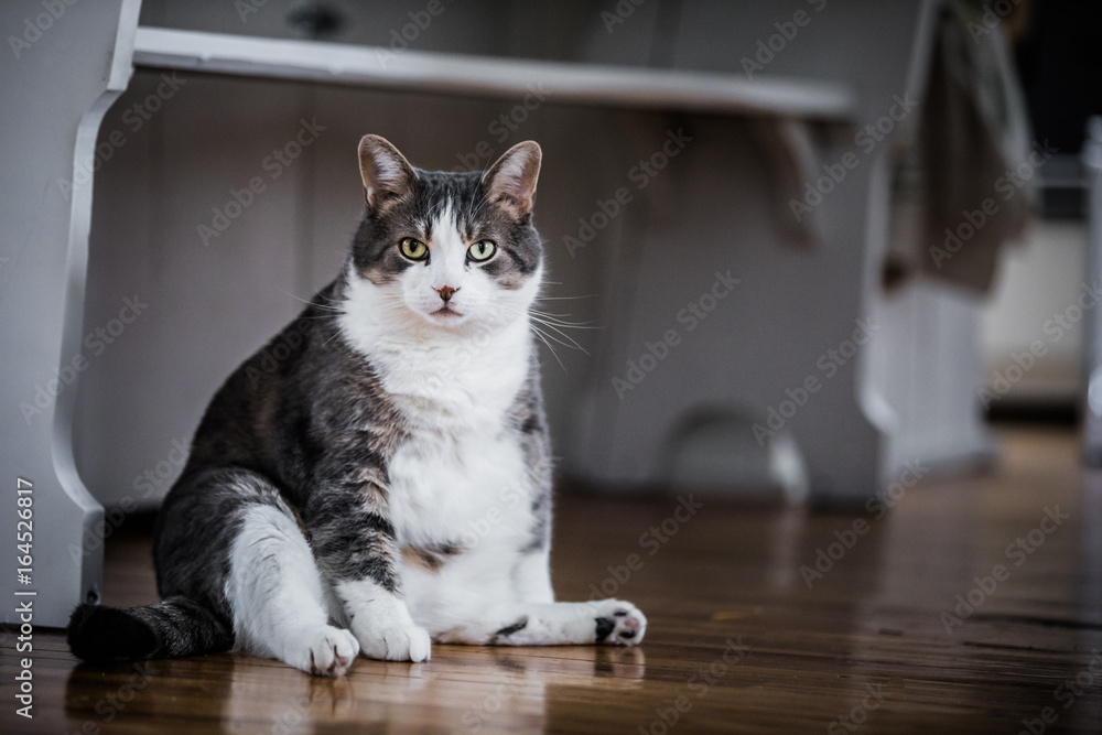Funny Fat Cat Sitting in the Kitchen
