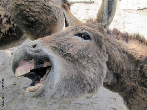Ane A donkey shows the teeth smiles