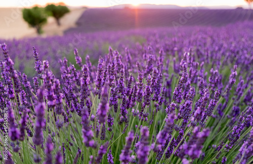 Photo  Beautiful lavender fields at sunset time