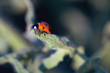 Macro Of Ladybug On A Plant