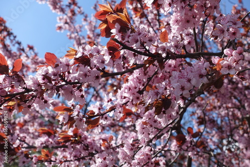 Pink flowers and purple leaves of plum against the sky buy this pink flowers and purple leaves of plum against the sky mightylinksfo
