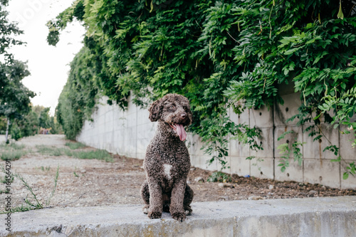 Fotografie, Obraz  Portrait of a lovely brown spanish water dog with her tongue out in a stone background