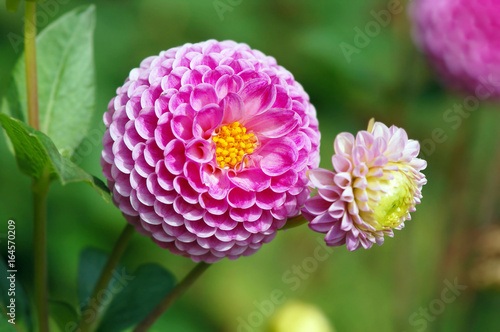 pink dahlia blossom in summer autumn time