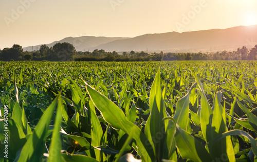 Canvas-taulu Young corn plantation landscape