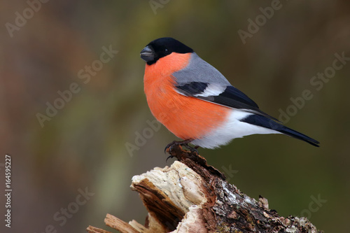 Photo he bullfinch, common bullfinch or Eurasian bullfinch ( Pyrrhula pyrrhula) sittin