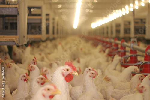 Stampa su Tela Chicken farm, poultry production