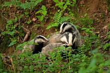 European Badger , Meles Meles,...