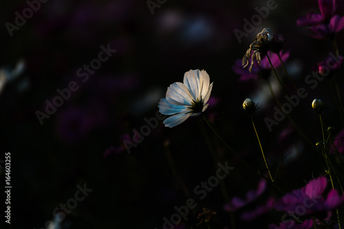 Fotobehang Natuur cosmos flower in the dark background, low light