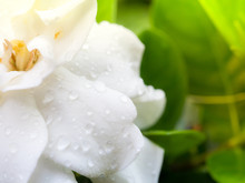 Cape Jasmine With Dew Drop In ...