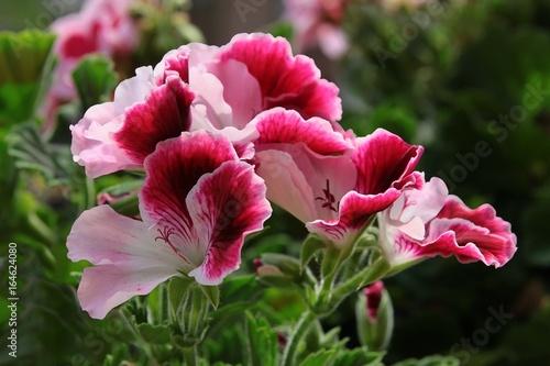 pink and red flowers of geranium pelargonium plant