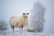 A Curious Sheep In A Frozen Wintry Scene