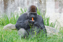 Gorilla, Monkey Eating A Carrot