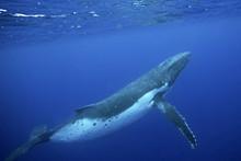 Humpback Whale, Megaptera Nova...