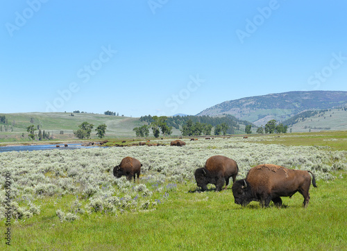 Aluminium Prints Bison Lamar Valley Yellowstone