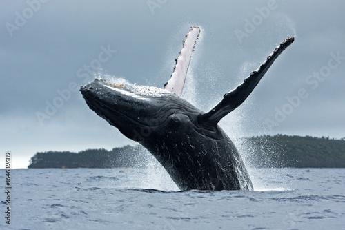 Fotografie, Obraz  humpback whale, megaptera novaeangliae, Tonga, Vava'u island