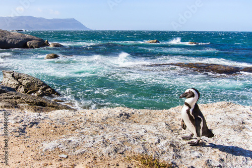 african penguin on Boulders beach in Cape Town, South Africa