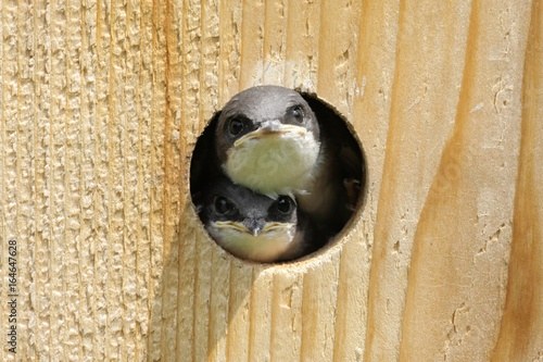 Aufkleber - Tree Swallow In a Bird House