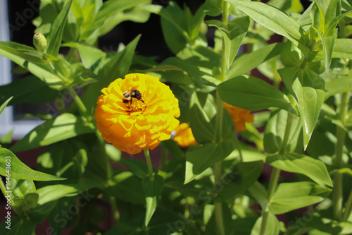 Fotografie, Obraz  bee on vibrant yellow marigold flower surrounded by green leaves