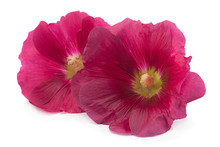 Purple Hollyhock Flower Closeup