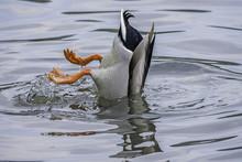 Mallard Duck Feeding On The Bo...