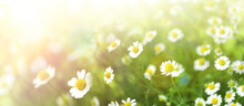 Beautiful Chamomile Flowers In...