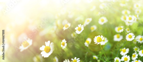 Recess Fitting Panorama Photos Beautiful chamomile flowers in field, closeup