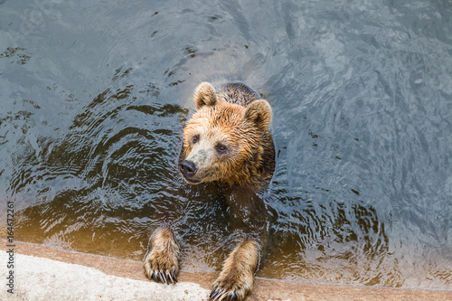 Fotografie, Obraz  bear in pond