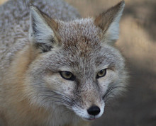 The Corsac Fox (Vulpes Corsac)