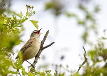 Sedge Warbler (Acrocephalus Schoenobaenus), Singing From A Bush, Sussex, England, UK.
